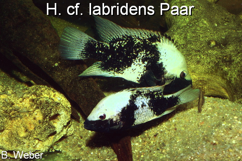 pic Herichthys labridens breading