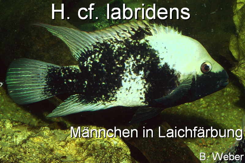 pic Herichthys cf. labridens